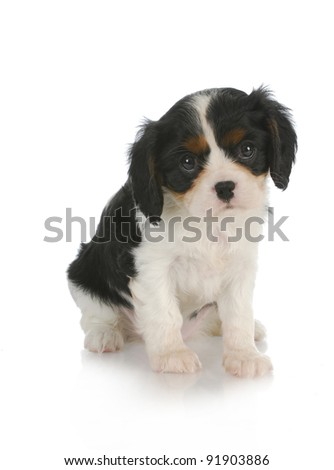 cute puppy - cavalier king charles spaniel puppy - 7 weeks old
