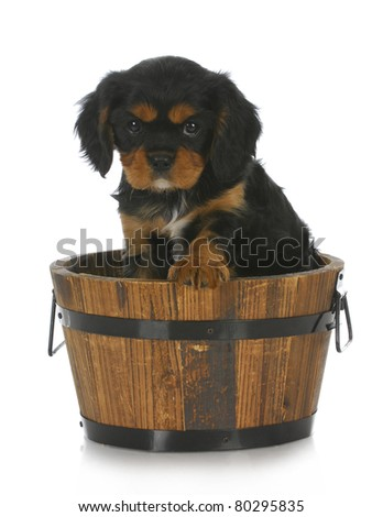 cute puppy - cavalier king charles spaniel sitting in wooden bucket on white background - stock photo
