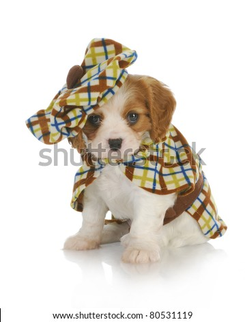 cute puppy - cavalier king charles spaniel wearing plaid coat and matching hat - 6 weeks old - stock photo