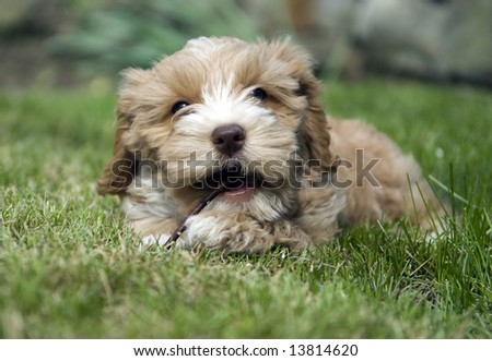 Cute puppy chewing on a stick - stock photo