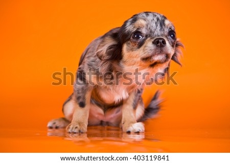 Cute puppy chihuahua dog on an orange background