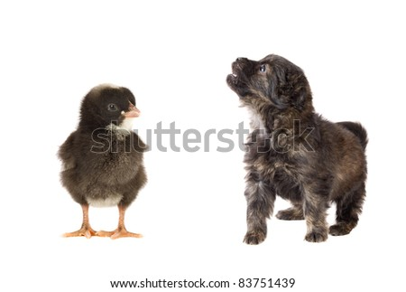 Cute puppy dog and a little chicken on white background - stock photo