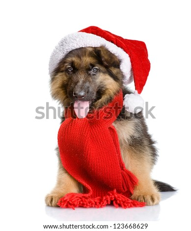 cute puppy dog in red christmas Santa hat. looking at camera. isolated on white background - stock photo