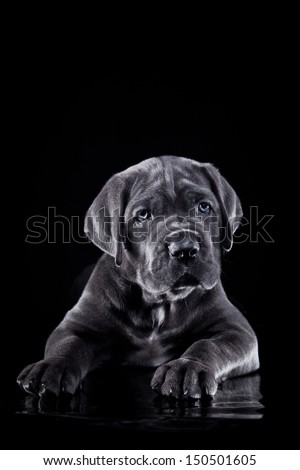 cute puppy dog in the decorations Cane Corso - stock photo