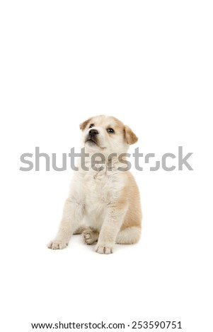 Cute puppy dog looking up against a white background - stock photo
