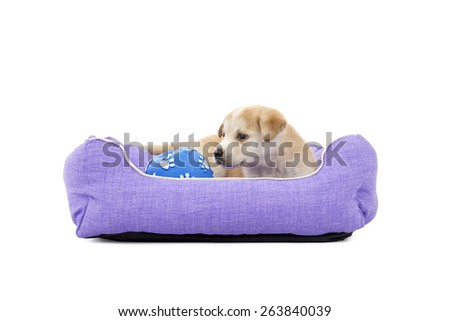 Cute puppy dog resting in its bed with a ball toy against a white background - stock photo