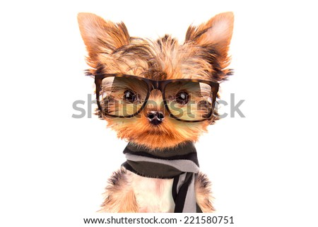 cute puppy dog wearing a shades and scarf on white background - stock photo