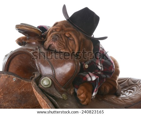 cute puppy - dogue de bordeaux puppy wearing western clothes and hat sleeping in a saddle on white background - 5 weeks old - stock photo
