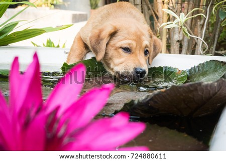 Cute puppy drinks the water on the pond, And bueatiful pink lotus.
