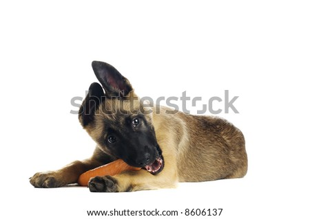 Cute puppy eating a tasty carrot - stock photo
