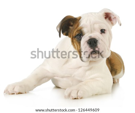 cute puppy - english bulldog puppy laying down looking at view on white background - stock photo