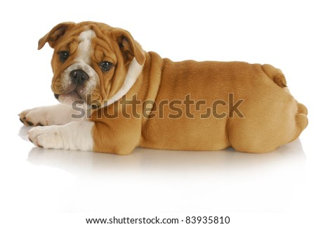 cute puppy - english bulldog puppy laying down looking at viewer on white background - nine weeks old - stock photo