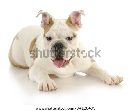 cute puppy - english bulldog puppy laying down with tongue hanging out looking at viewer - stock photo