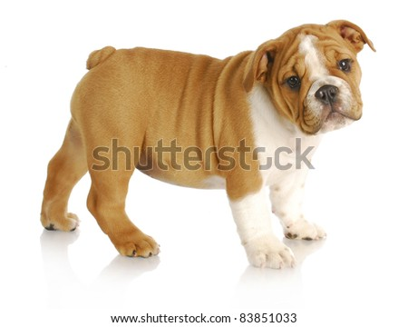 cute puppy - english bulldog puppy standing looking at viewer on white background - nine weeks old - stock photo