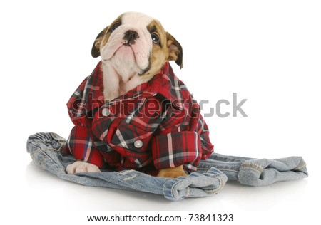 cute puppy - english bulldog puppy wearing plaid shirt sitting on pair of jeans on white background - stock photo
