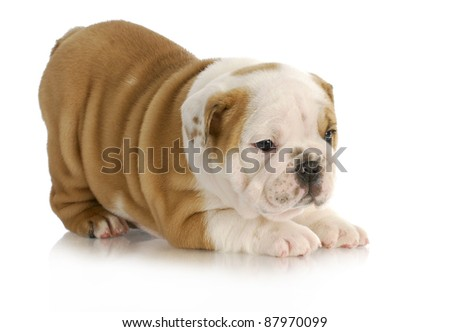 cute puppy - english bulldog puppy with bum in the air on white background - 6.5 weeks old - stock photo