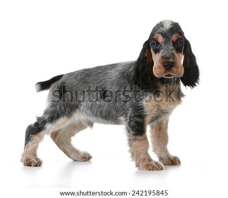 cute puppy - english cocker spaniel puppy  standing on white background