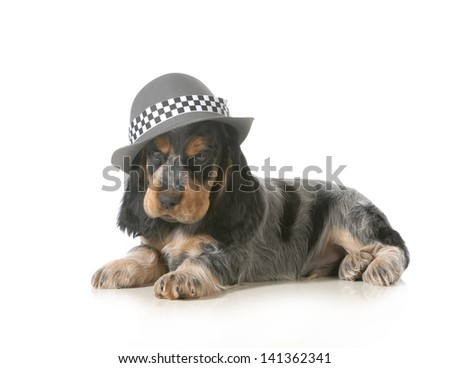 cute puppy - english cocker spaniel puppy wearing hat isolated on white background - 7 weeks old - stock photo