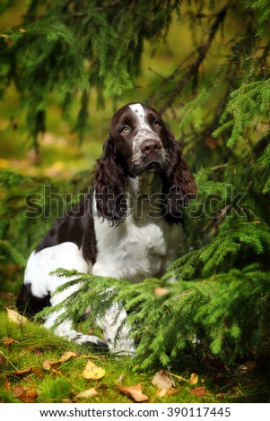 Cute Puppy English Springer Spaniel among fir branches - stock photo