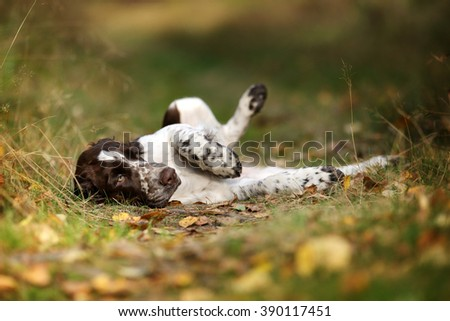 Cute Puppy English Springer Spaniel lying on the the footpath - stock photo