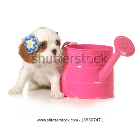 cute puppy - female cavalier king charles puppy sitting beside a pink watering can isolated on white background - 7 weeks old - stock photo