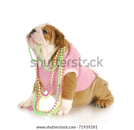 cute puppy - female english bulldog puppy chewing on beads on white background - stock photo