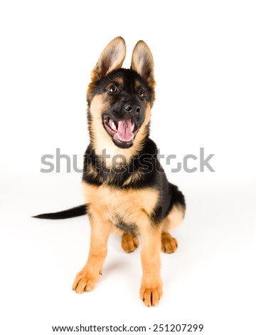 cute puppy german shepherd dog sitting on white background 5 - stock photo