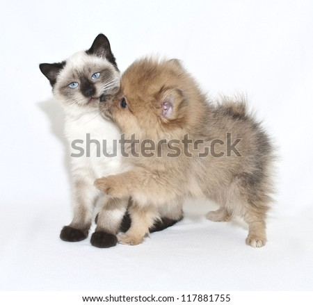 Cute puppy giving a kitten a kiss on a white background.