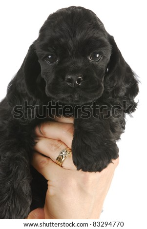 cute puppy - hand holding black american cocker spaniel puppy - 6 weeks old - stock photo