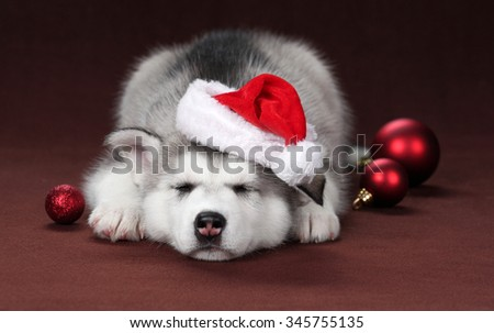 Cute Puppy Husky in cap Santa Claus with Christmas balls - stock photo