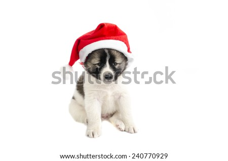 Cute puppy in a Christmas - Santa hat. Isolated on a white backg