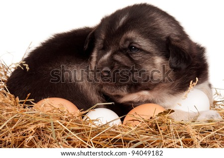 Cute puppy in a nest with eggs on a white background