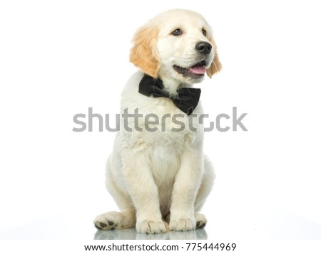 cute puppy in bow tie isolated on white studio shot looking at camera retriever