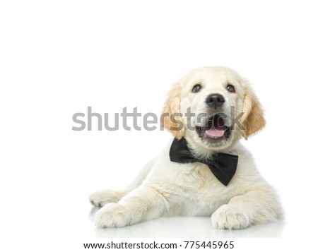 cute puppy in bow tie isolated on white studio shot looking at camera retriever positive emotions smiling lying