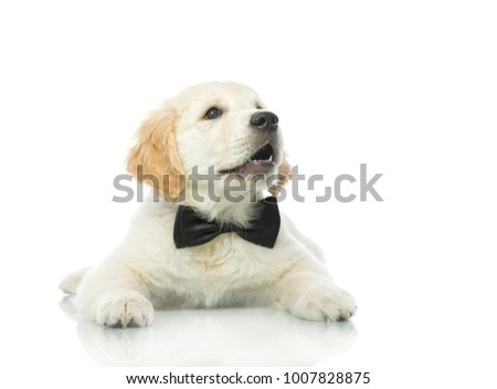 cute puppy in bow tie isolated on white studio shot looking upretriever