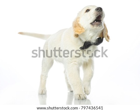 cute puppy in bow tie isolated on white studio shot  retriever standing singing howling yowl barking