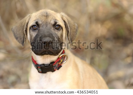 Best Puppy Brown Adorable Dog - stock-photo-cute-puppy-is-a-closeup-of-an-adorable-dog-outdoors-looking-at-you-with-those-big-irresistible-eyes-436534051  Picture_522035  .jpg
