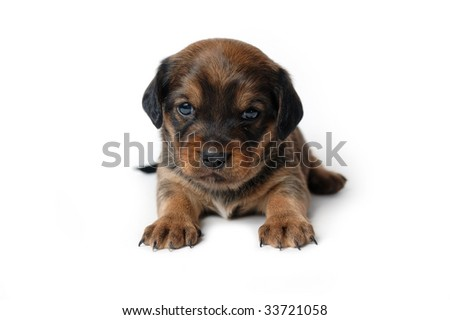 Cute puppy isolated on white