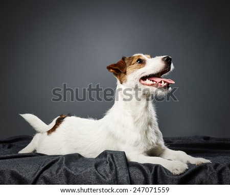 Cute puppy Jack Russell terrier, eight month old male - studio shot and gray background - stock photo