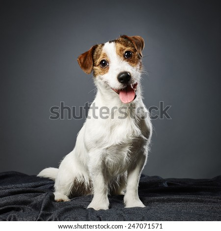 Cute puppy Jack Russell terrier, eight month old male - studio shot and gray background