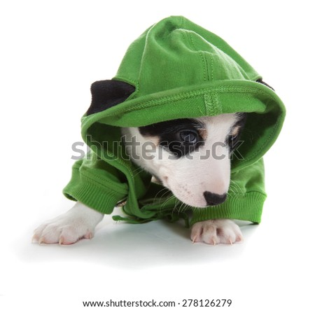 Cute puppy jack russell terrier in green hoodie - stock photo