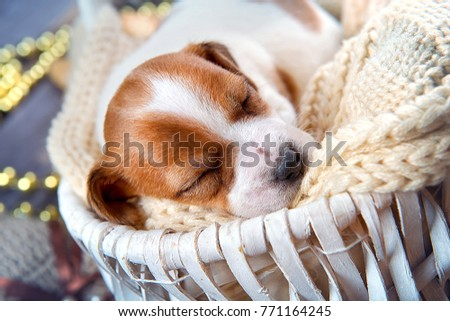 Cute puppy Jack Russell Terrier sleeps in a white basket in Christmas interior