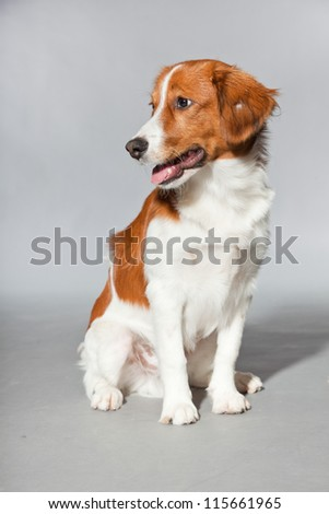 Cute puppy Kooiker hound. Sitting. Total shot. Studio shot isolated on grey background.