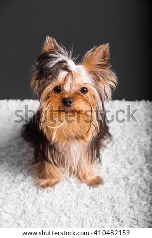 Cute puppy lies on white carpet and black background. Yorkshire Terrier