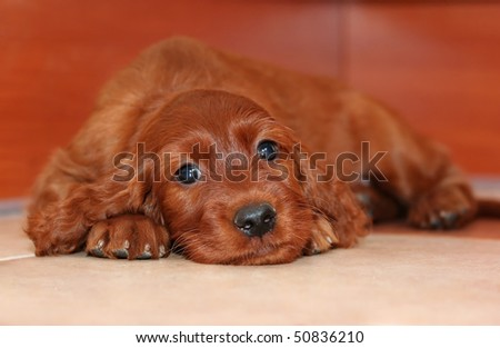 Cute puppy looking at the camera - stock photo