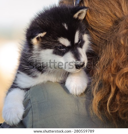 cute puppy of alaskan malamute dog in  hands of owner