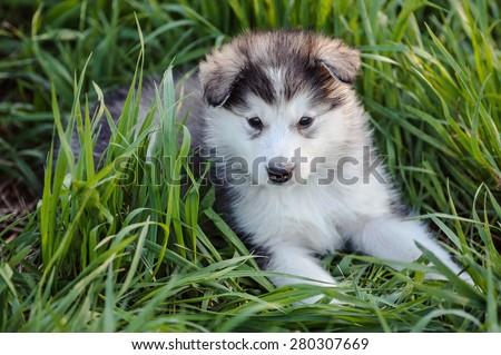 cute puppy of alaskan malamute dog in the grass - stock photo