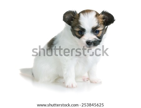 Cute puppy of breed papillon on white background