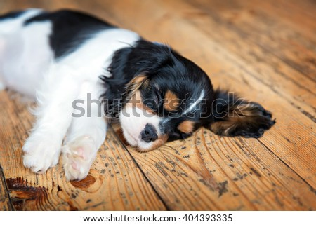 cute puppy of cavalier spaniel sleeping
