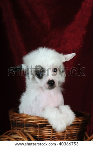 Cute puppy of chinese crested dog sitting in the basket and sadly looking